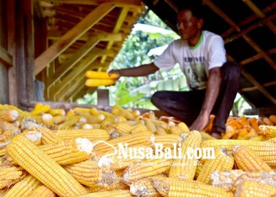 Nusabali.com - 171600-ton-jagung-impor-segera-masuk-indonesia