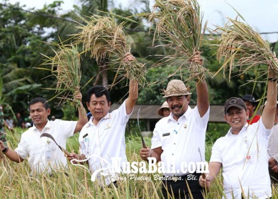 Nusabali.com - wabup-kasta-panen-padi-program-khusus