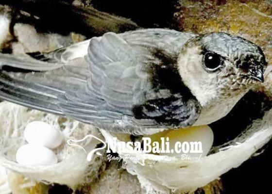 Nusabali.com - ekspor-sarang-walet-naik-175-persen