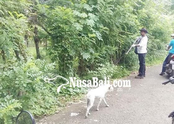 Nusabali.com - puluhan-anjing-liar-di-tejakula-dieliminasi