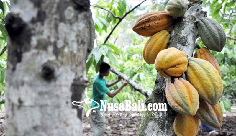 www.nusabali.com-produksi-kakao-di-ri-masih-rendah
