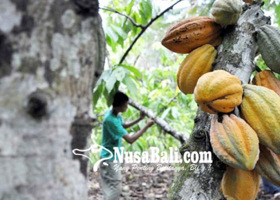 Nusabali.com - produksi-kakao-di-ri-masih-rendah