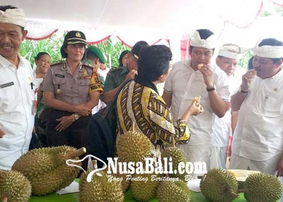 Nusabali.com - tertibkan-pedagang-buah-musiman-pemkab-jembrana-gelar-festival-durian