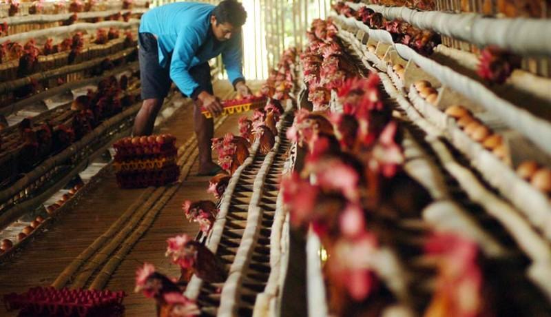 www.nusabali.com-harga-ayam-meroket-karena-kartel