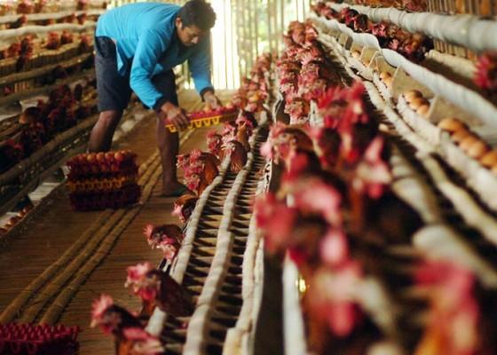 Nusabali.com - harga-ayam-meroket-karena-kartel
