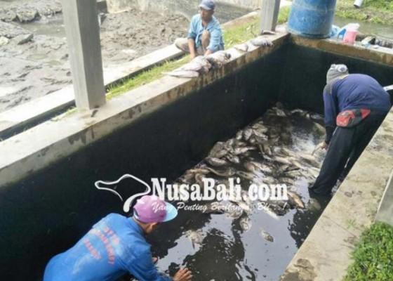 Nusabali.com - bangli-kekurangan-benih-ikan