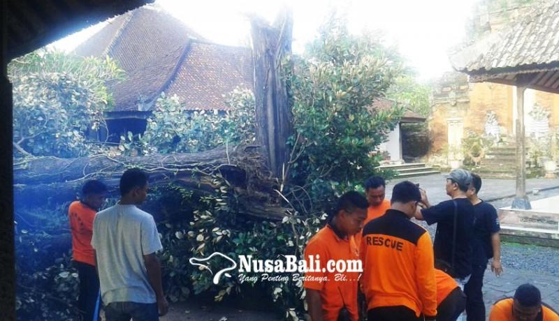 www.nusabali.com-pohon-sawo-di-puri-agung-gianyar-roboh