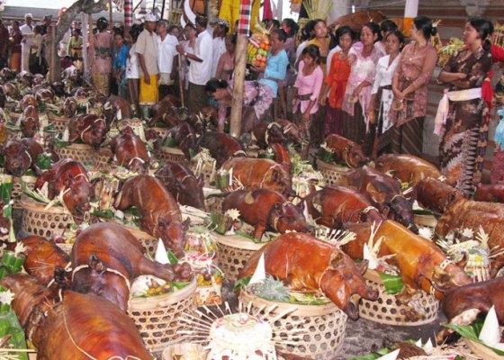 Nusabali.com - dalam-setahun-dua-kali-krama-persembahkan-857-babi-guling