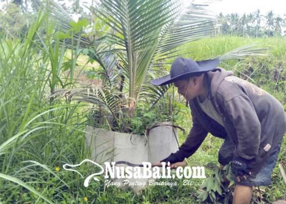 Nusabali.com - kebun-petani-diserang-landak