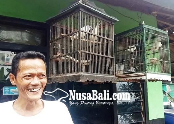 Nusabali.com - warga-sumberkelampok-tangkarkan-jalak-bali