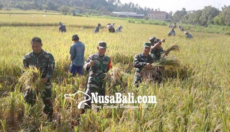 www.nusabali.com-tentara-panen-padi-di-subak-kuum-canggah