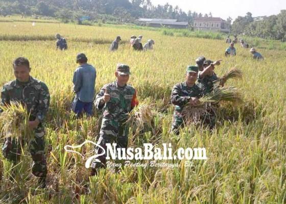 Nusabali.com - tentara-panen-padi-di-subak-kuum-canggah