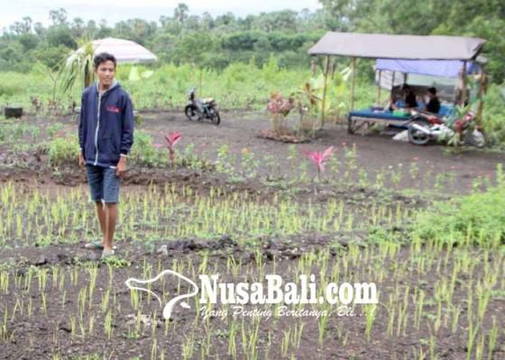 Nusabali.com - desa-dukuh-percontohan-tanam-padi-lahan-kering