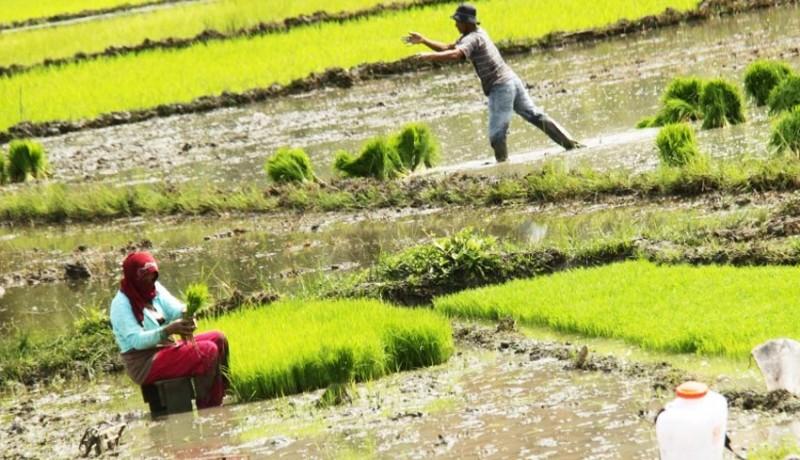 www.nusabali.com-sawah-tadah-hujan-pilihan-sulit-bagi-rakyat-miskin