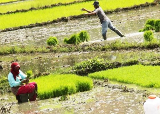 Nusabali.com - sawah-tadah-hujan-pilihan-sulit-bagi-rakyat-miskin