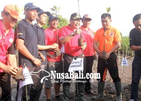 Nusabali.com - gandeng-mahasiswa-kkn-pemkab-tanam-600-bibit-mangrove