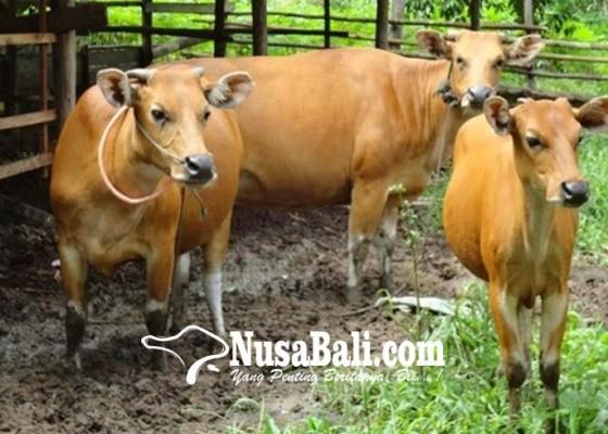 Nusabali.com - maedeng-tradisi-memilih-godel-di-buahan