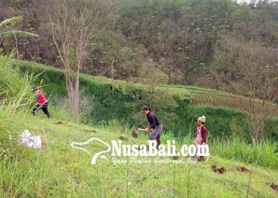 Nusabali.com - warga-banjar-temukus-tanam-sereh-wangi