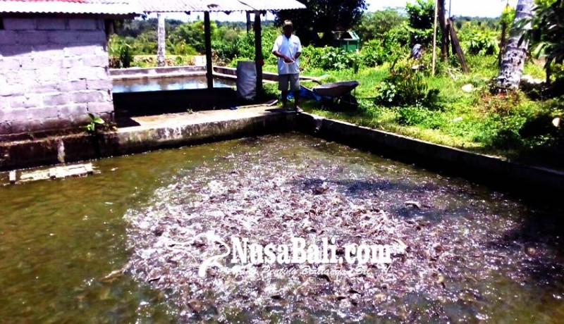 www.nusabali.com-kebutuhan-tinggi-lele-luar-banjiri-bali