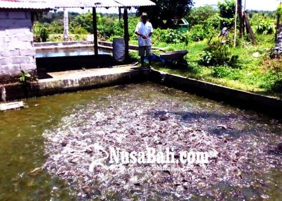Nusabali.com - kebutuhan-tinggi-lele-luar-banjiri-bali