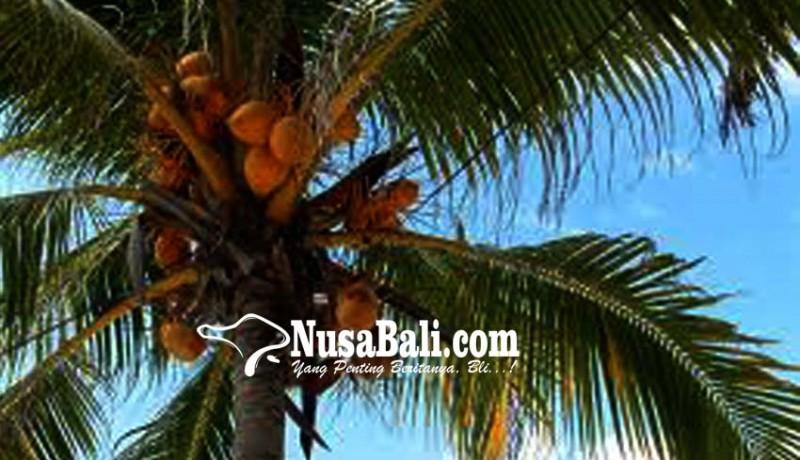 www.nusabali.com-anggota-dewan-keluhkan-penanaman-kelapa-di-bahu-jalan