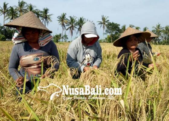 Nusabali.com - tabanan-murnikan-padi-merah-cenana-untuk-dapatkan-produk-unggulan