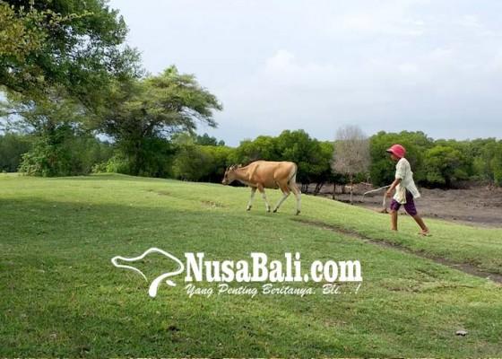 Nusabali.com - karang-sewu-jadi-tempat-menggembalakan-sapi