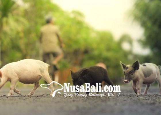 Nusabali.com - populasi-babi-di-klungkung-31041-ekor