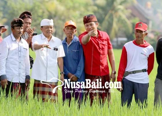 Nusabali.com - koster-akan-kembangkan-padi-unggul-berteknologi-nuklir