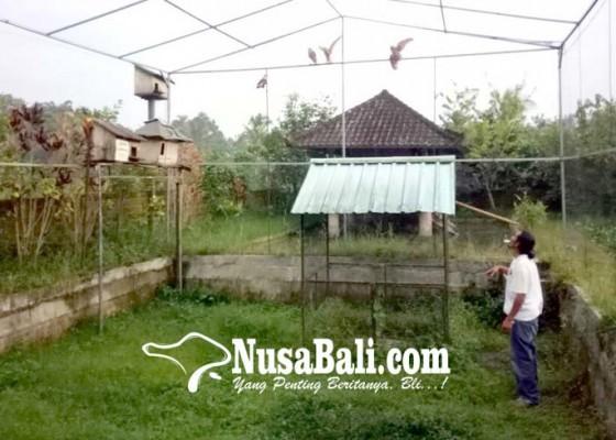 Nusabali.com - tyto-alba-menetas-11-ekor-masih-dalam-pengawasan