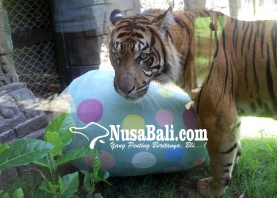 Nusabali.com - peringati-paskah-harimau-berburu-telur