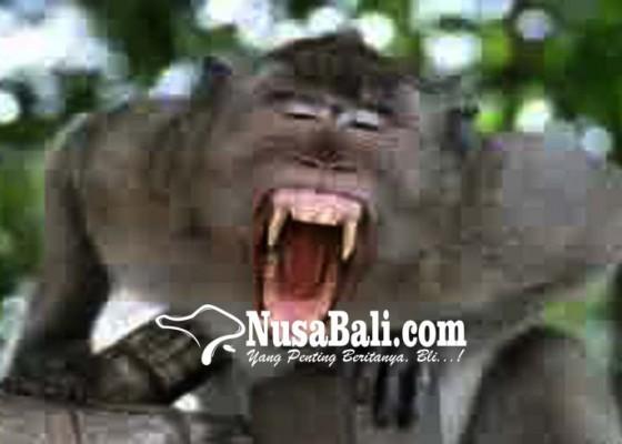 Nusabali.com - tragis-bayi-tewas-diculik-monyet