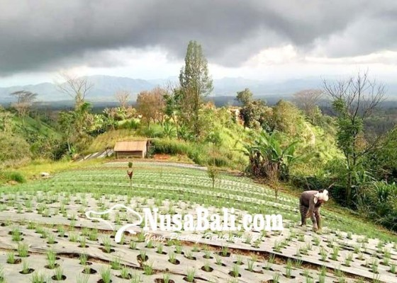 Nusabali.com - pulang-dari-pengungsian-krama-temukus-tanam-bawang