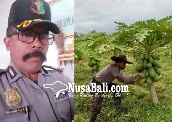 Nusabali.com - nyambi-menjadi-petani-pepaya-sebagai-persiapan-jelang-pensiun