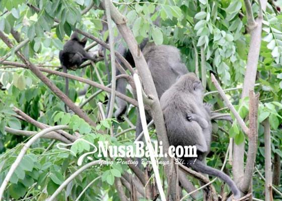 Nusabali.com - program-kebiri-kera-dihentikan