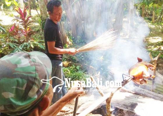 Nusabali.com - kecamatan-kerambitan-akan-lestarikan-babi-hitam