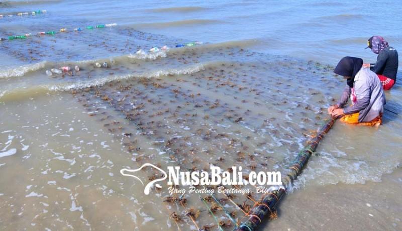 www.nusabali.com-harga-rumput-laut-naik