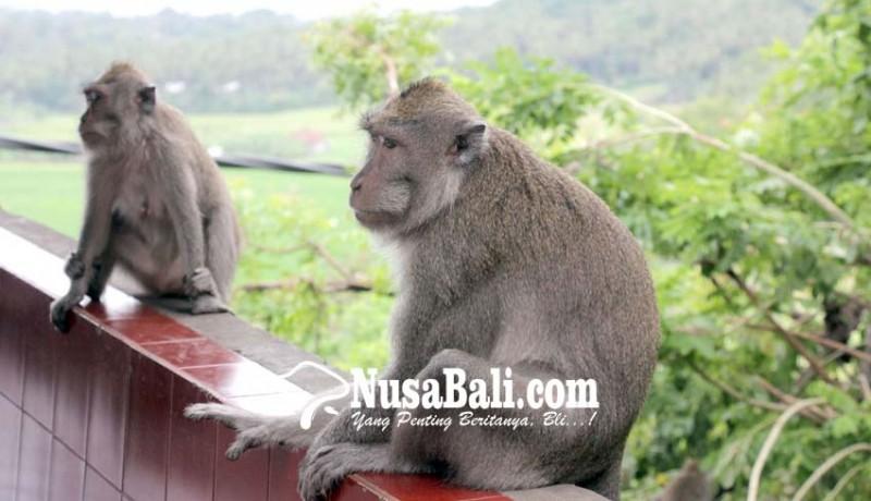 www.nusabali.com-diserang-hama-kera-petani-nanas-madu-menderita