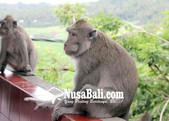 Nusabali.com - diserang-hama-kera-petani-nanas-madu-menderita
