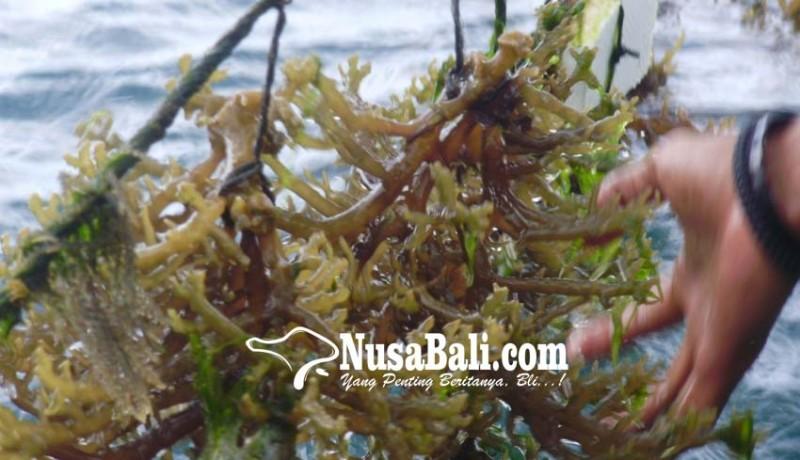 www.nusabali.com-dinas-kelautan-kaji-anjloknya-produksi-rumput-laut