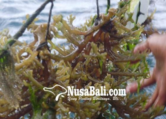 Nusabali.com - dinas-kelautan-kaji-anjloknya-produksi-rumput-laut