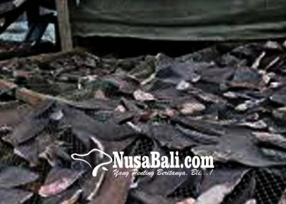 Nusabali.com - 90-kg-sirip-ikan-hiu-gagal-diselundupkan