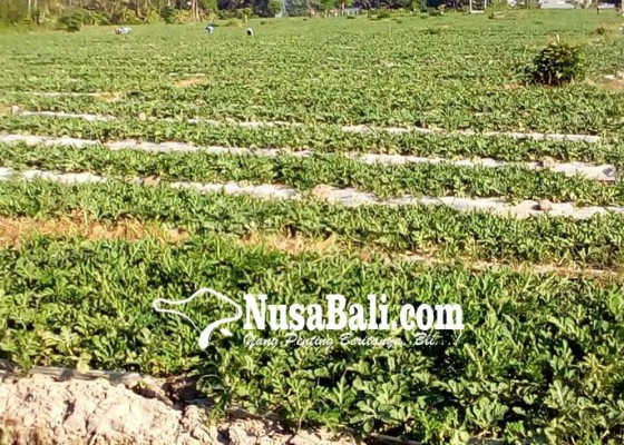 Nusabali.com - ekspor-menyusut-pebisnis-hortikultura-fokus-pasar-lokal