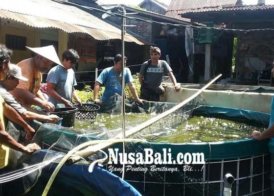Nusabali.com - badung-kembangkan-budidaya-lele
