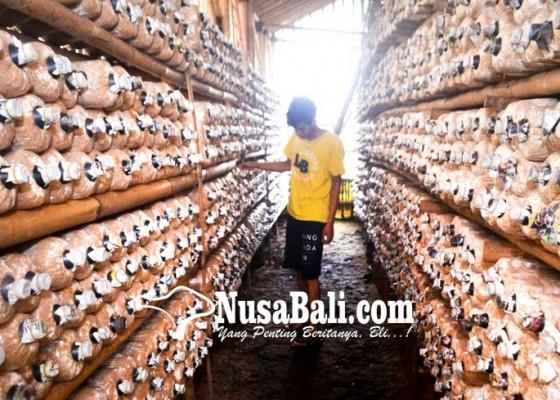 Nusabali.com - budidaya-jamur-tiram