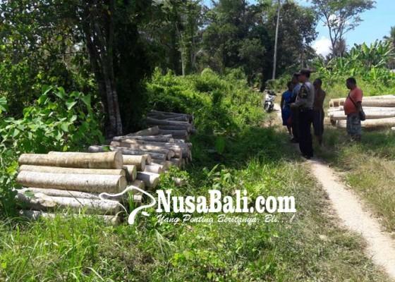 Nusabali.com - pohon-albesia-ditebang-ilegal