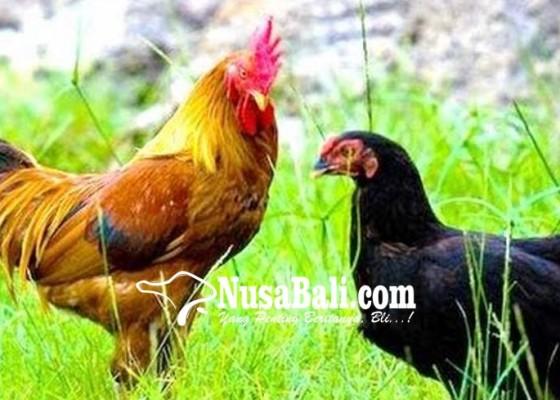 Nusabali.com - satpol-pp-peringatkan-usaha-ayam-di-munduk-ranti