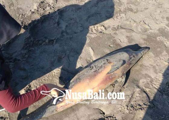 Nusabali.com - diduga-hoax-bangkai-lumba-lumba-terdampar-di-perancak