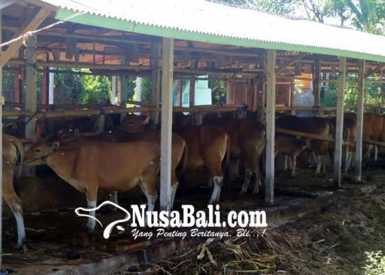 Nusabali.com - peternak-enggan-asuransikan-sapi