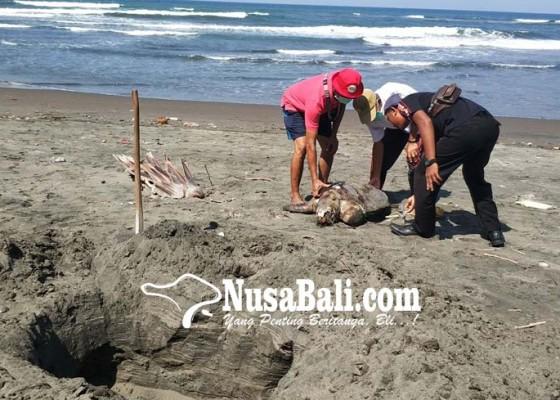 Nusabali.com - keracunan-sampah-4-ekor-penyu-tewas